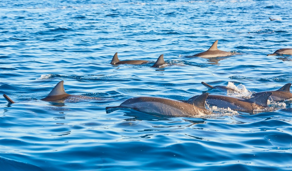 Group of frolicking dolphins,
