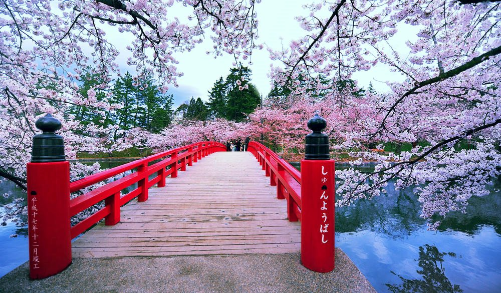 Spring time with cherry blossoms in Japan full bloom.