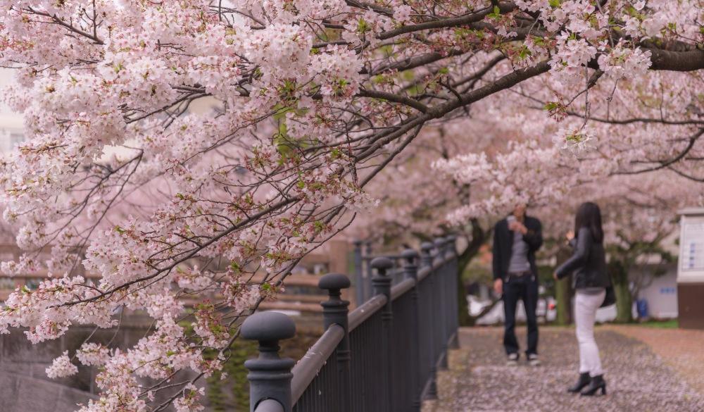 man and woman are traveling in sakura park fukuoka