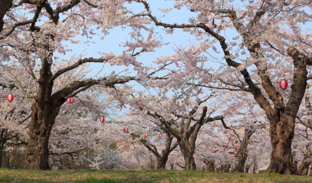 Goryokaku Park, a popular tourist attraction of Hakodate, Hokkaido, Japan. Cherry blossoms