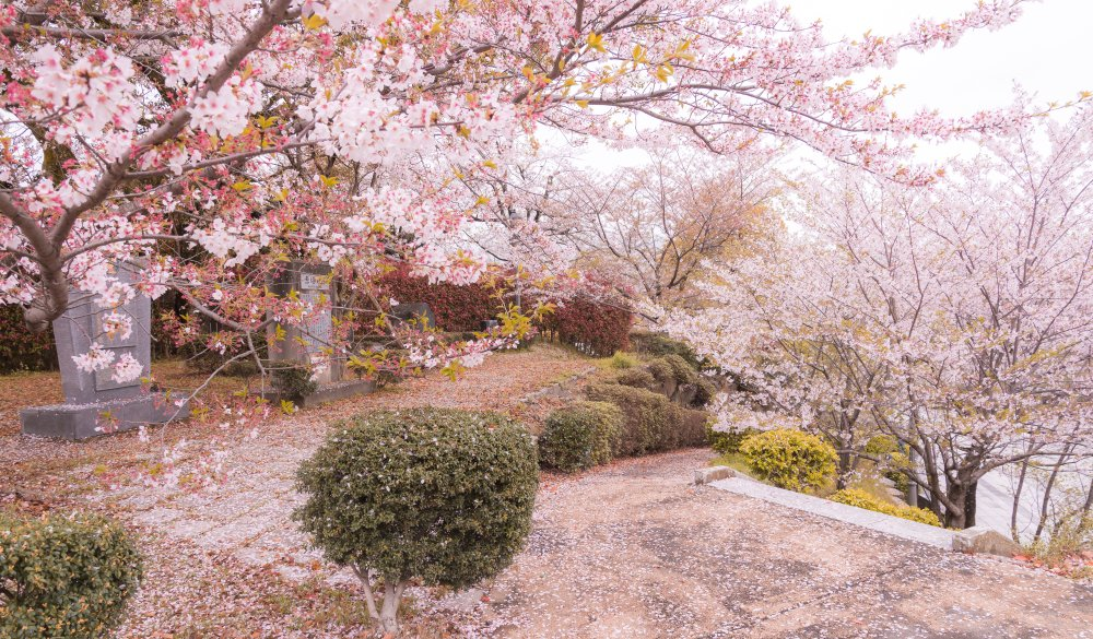 The famous place for hanami cherry blossom in the park
