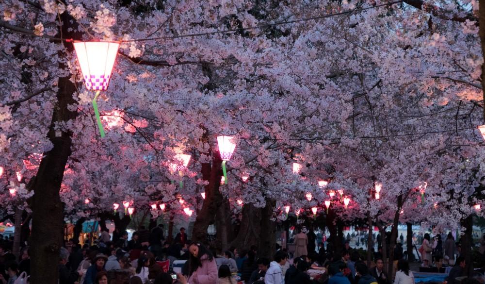 In Nagoya-Shi, Japan cherry blossoms
