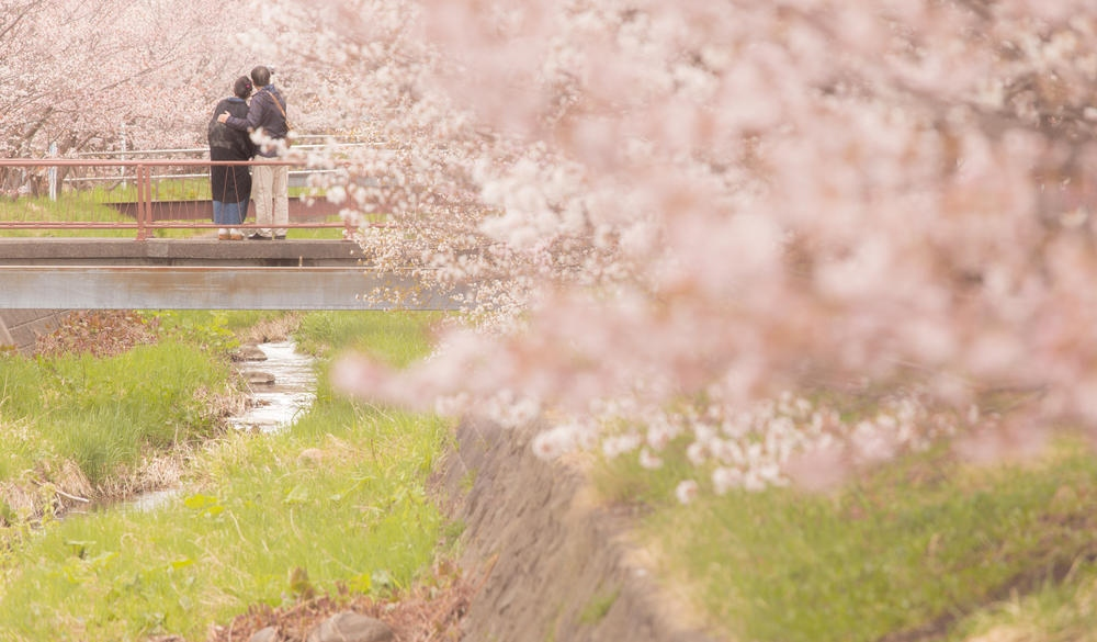 Couple Standing On Footbridge Against Cherry blossoms Trees, Japan