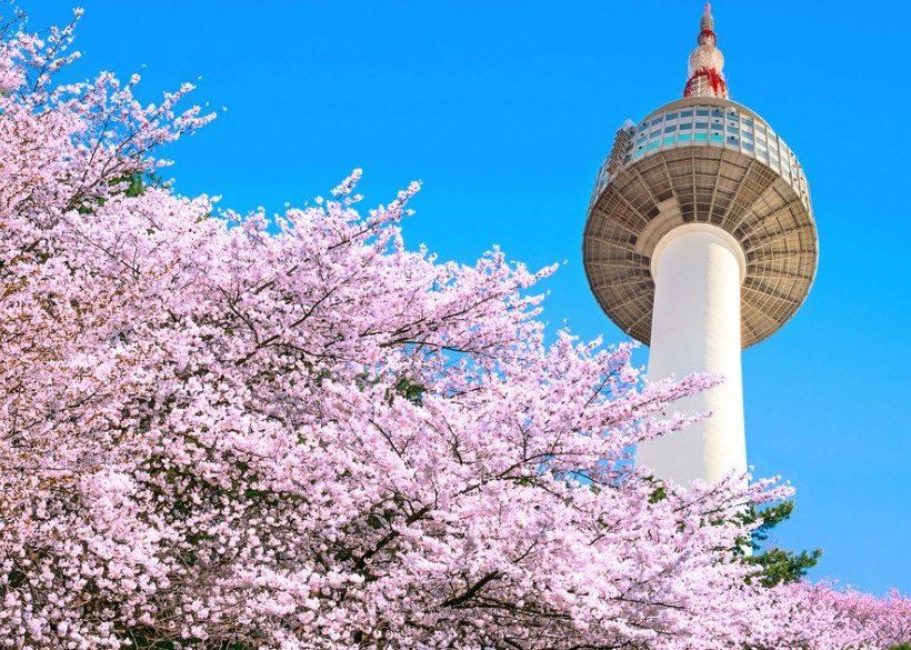 Cherry Blossoms of Korea: Guide and Forecast