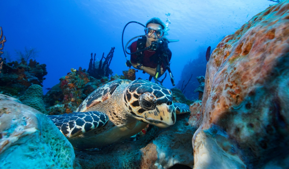 Female scuba diver comes upon a Hawksbill turtle eating a large Brain sponge.