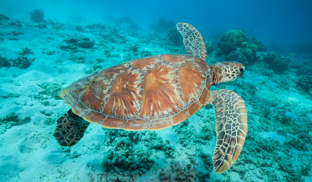 Underwater photograph of a swimming sea turtle