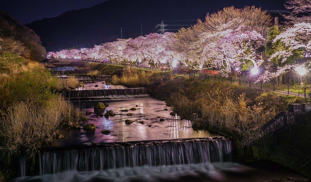 Cherry blossom trees along a stream