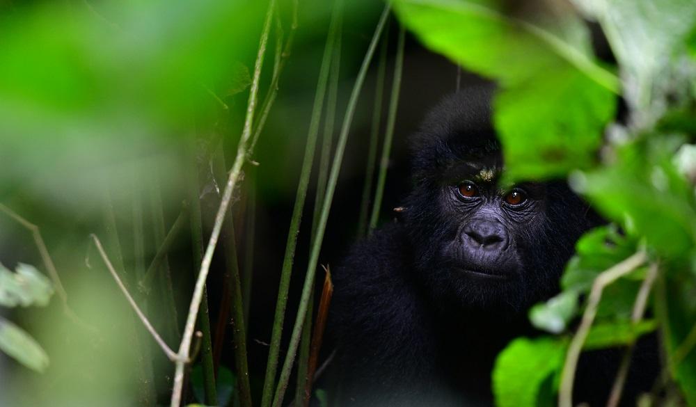 Safari Destinaitons in Africa Bwindi Impenetrable National Park