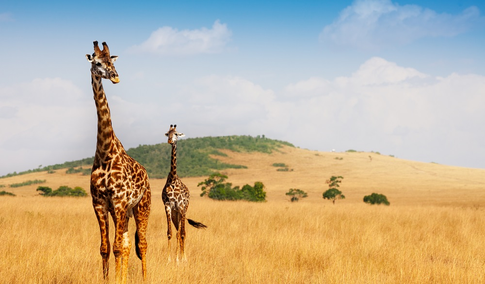 Safari Destinations in Africa Maasai Mara National Reserve Giraffe