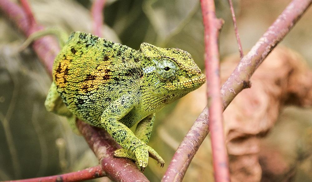 SAfari Destinations in Africa Bwindi Impenetrable National Park Chameleon