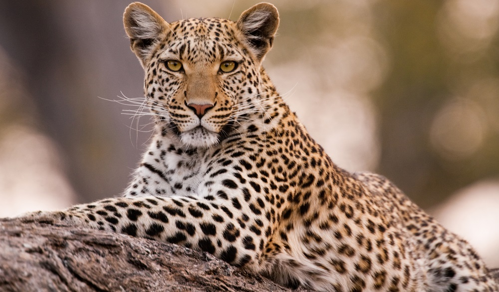 Safari Destinations in Africa Chobe National Park Leopard