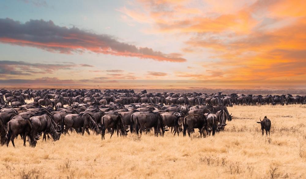 Safari Destinations in Africa Maasai Mara National Reserve The great migration