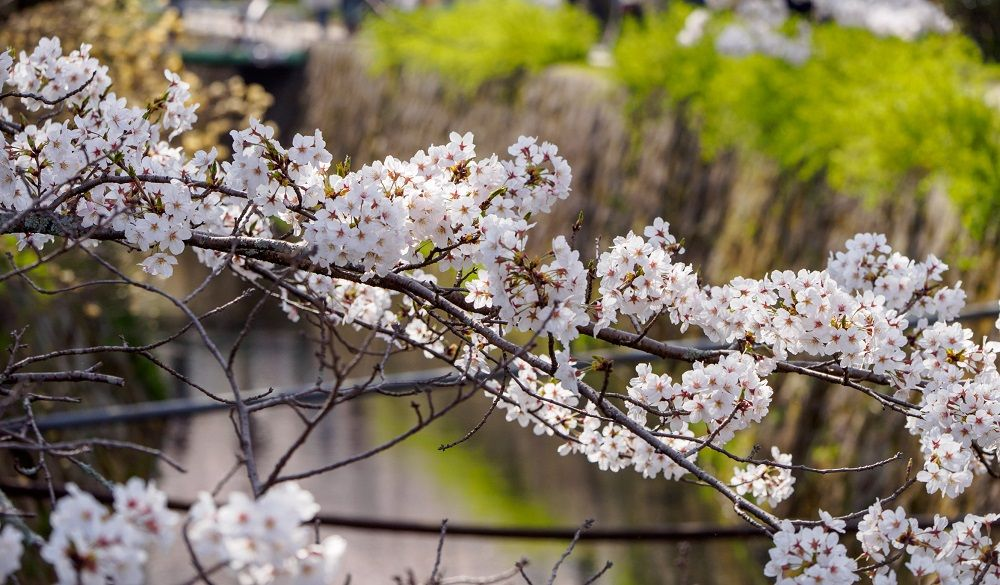 Sakura flowers (cherry blossom) above the canals of the famous Philosopher's Path