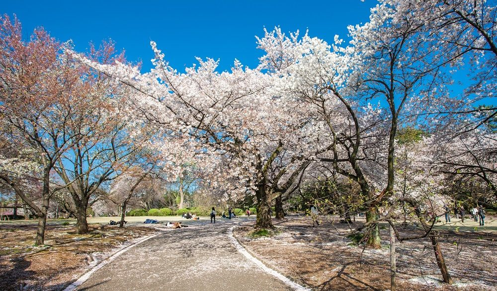 Cherry blossom in the Shinjuku Gyoen National Gardens