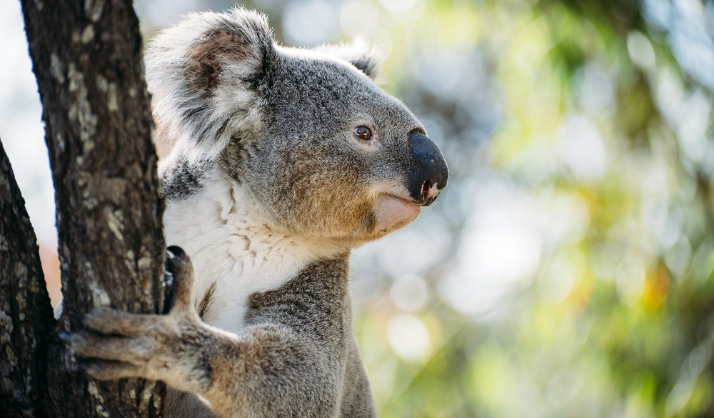 Australia, Queensland, koala climbing a tree
