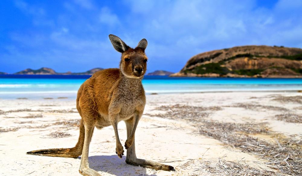 Kangaroo on Lucky Bay in Australia