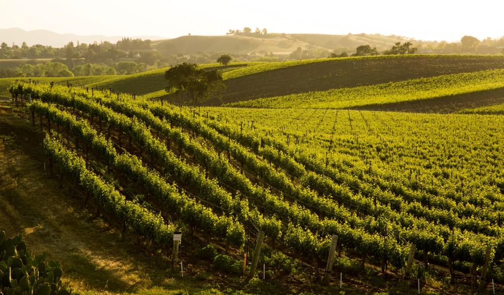 Sauvignon Blanc Vineyard Grapvines On Hillside, mother's day getaway
