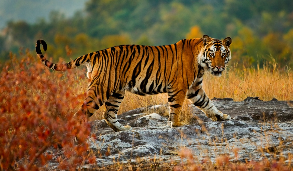 Tiger in Bandhavgarh National Park, best wildlife encounters