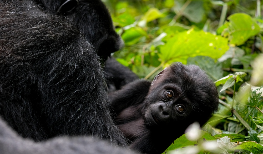 Baby Mountain Gorilla and its mother in Bwindi Impenetrable National Park, best wildlife encounters