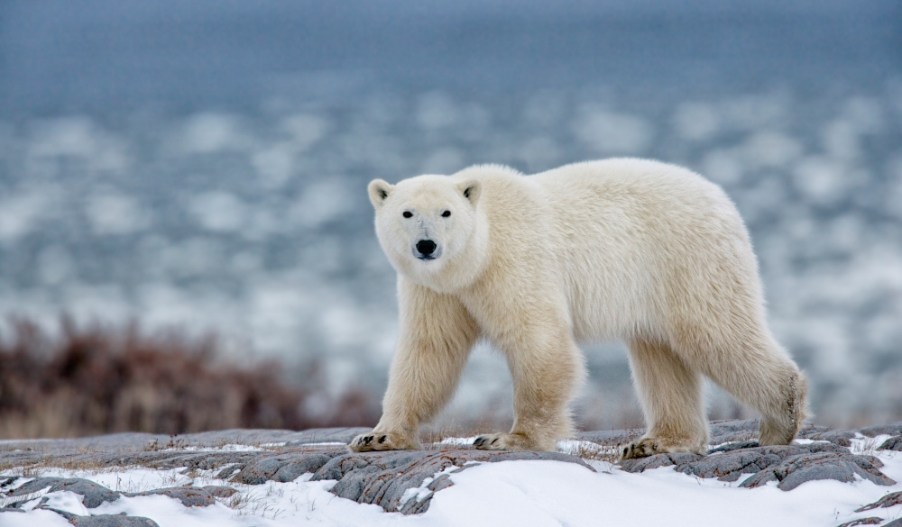Polar bear walking on snowy mountain, best wildlife encounters