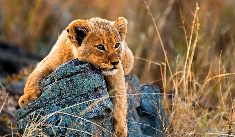 A lion cub, Panthera leo, lies on a boulder, best wildlife encounters