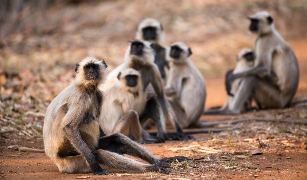 Group of Hanuman langur monkey, best wildlife encounters
