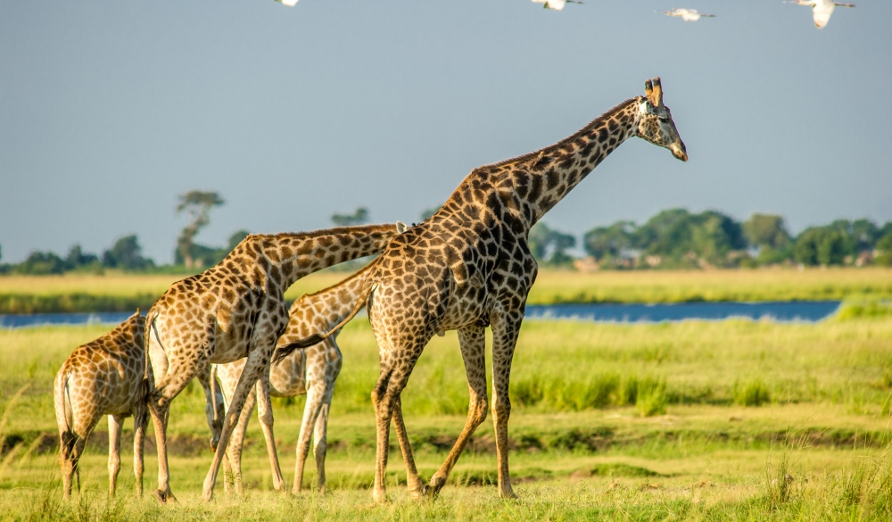 Giraffes roaming in Chobe National Park, best wildlife encounters