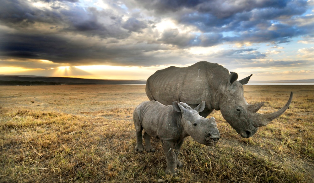 Rhinos grazing in Nakuru, best wildlife encounters