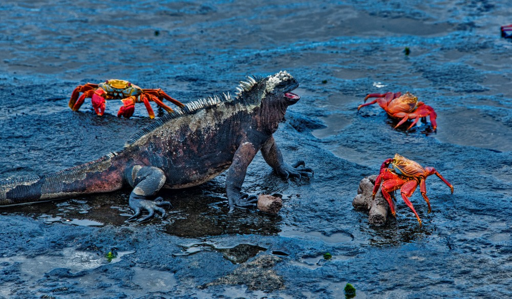 Marine iguana and sally lightfoot crabs, best wildlife encounters