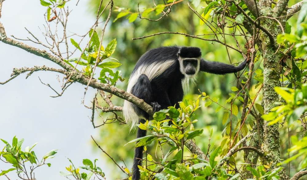 Black-and-white Colobus Monkey in Bwindi Impenetrable National Park, best wildlife encounters