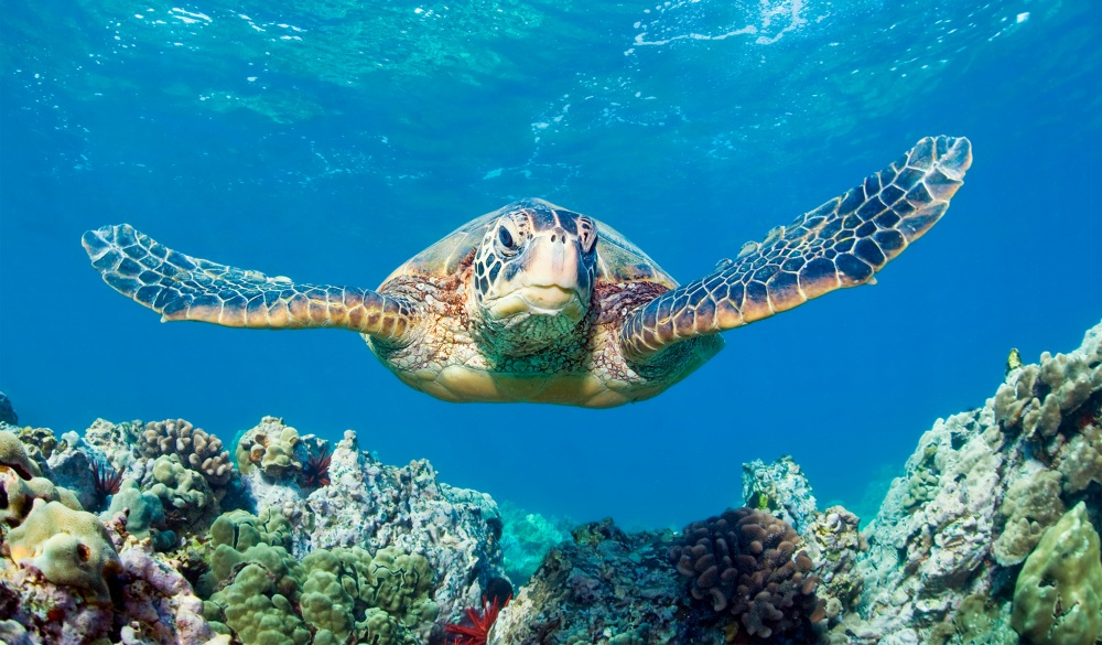 green sea turtle and coral reef, best snorkelling spot