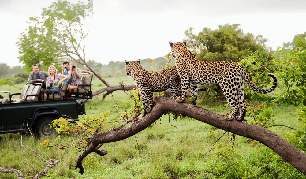 Two leopards on tree watching tourists in jeep, best wildlife encounters