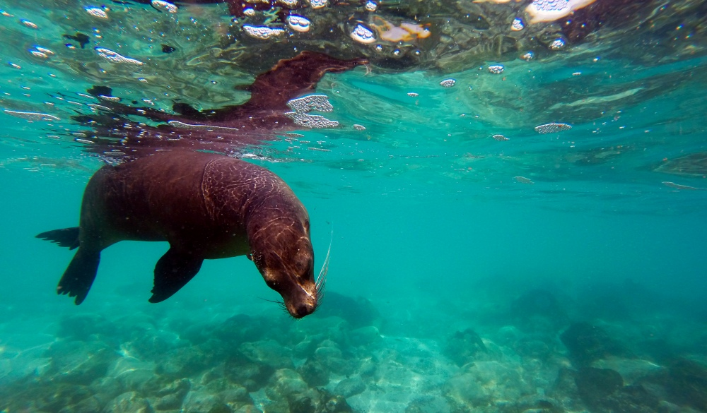 Sea Lion underwater at Galapagos, best snorkelling spot