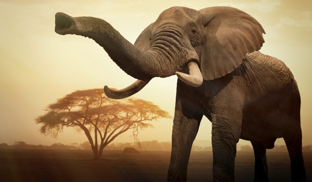 Giant female African elephant, wildlife