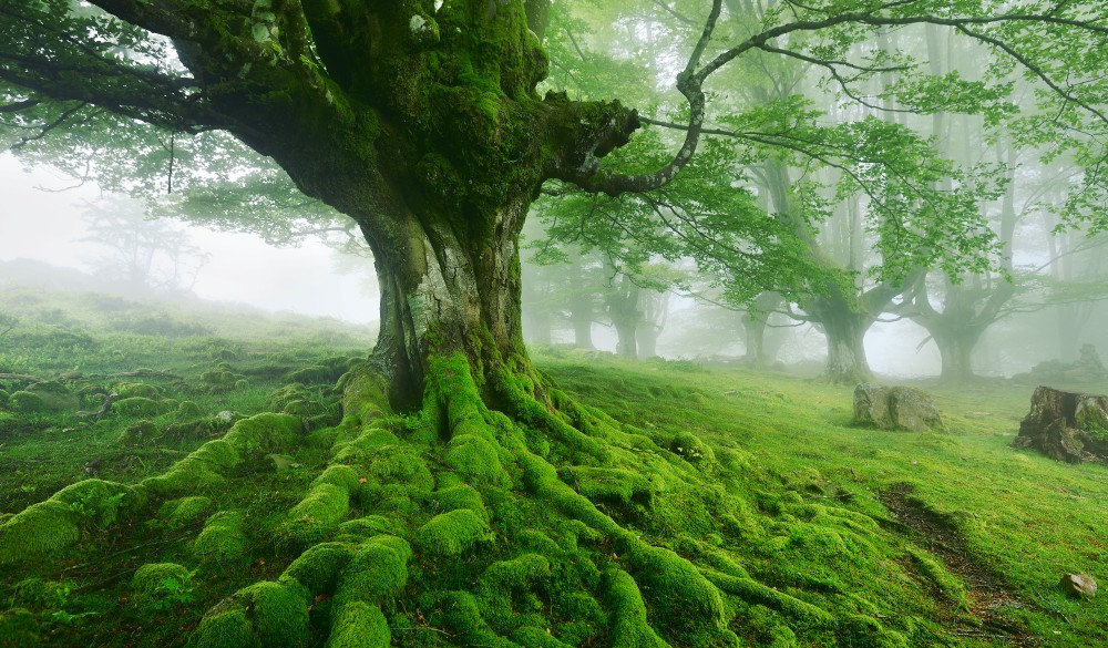Old beech tree with moss on its roots in a foggy spring day