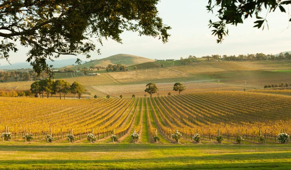 vineyards at dusk, Yarra Valley,