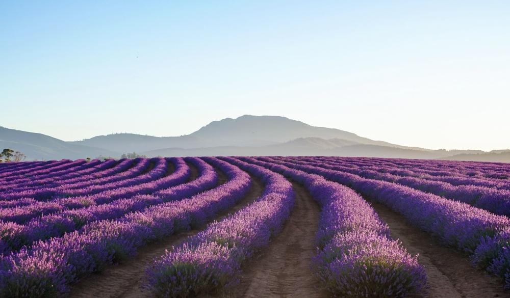 Lavender , Lauceston