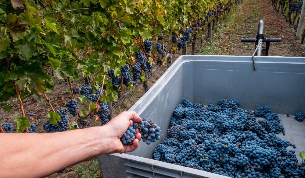 Grapes growing in vineyard, travel gems in europe