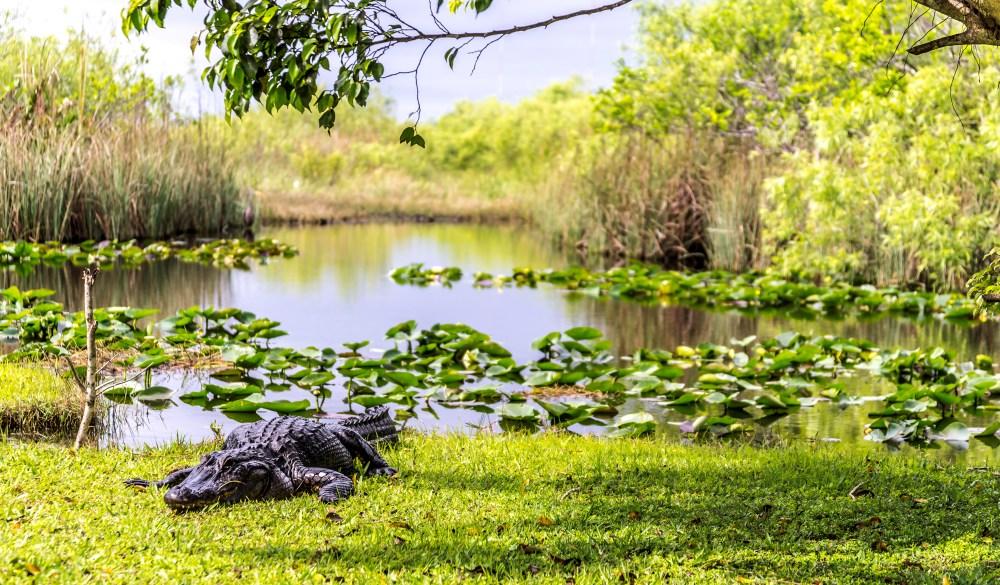 Crocodile on lakeshore, Everglades, Florida, USA
