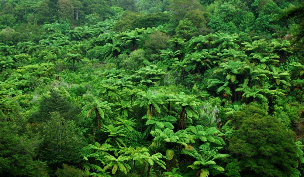 Backdrop of native foliage; Nikau Palms,