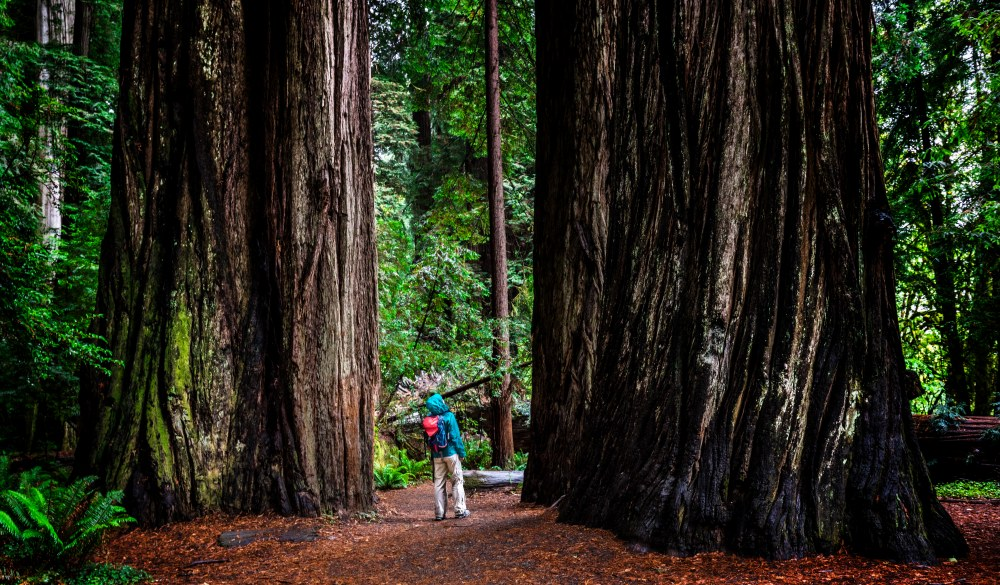 Woman on trail through the Jedediah Smith Redwoods , UNESCO site in the US