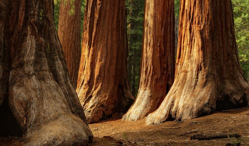 Giant Sequoias, Yosemite National Park, UNESCO site in the US