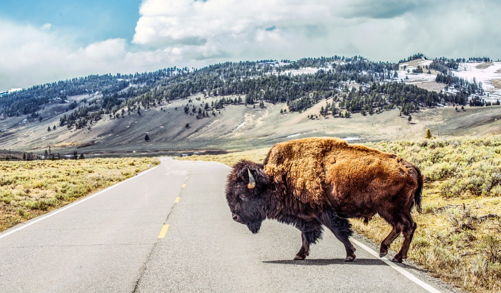 Bison crossing,
