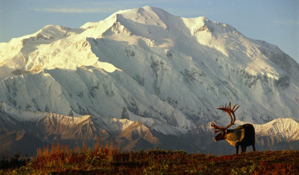Denali National Park, caribou in front of Mt.McKinley, best of Alaska