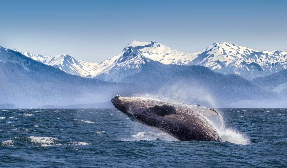 Breaching humpback whale, best of alaska