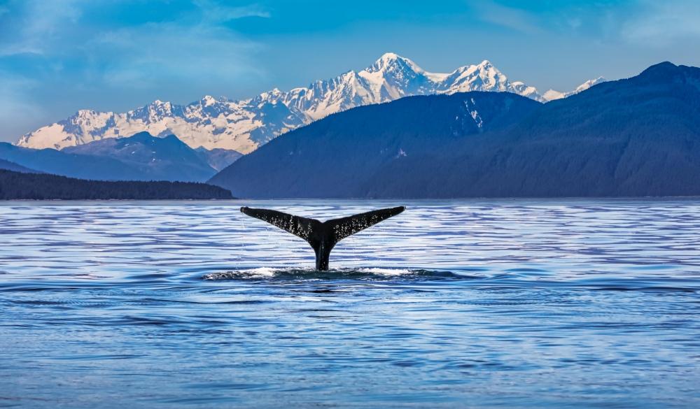 Whale Swimming In Sea, best of Alaska