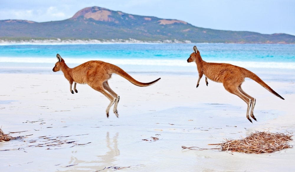Red Kangaroos on Lucky Bay