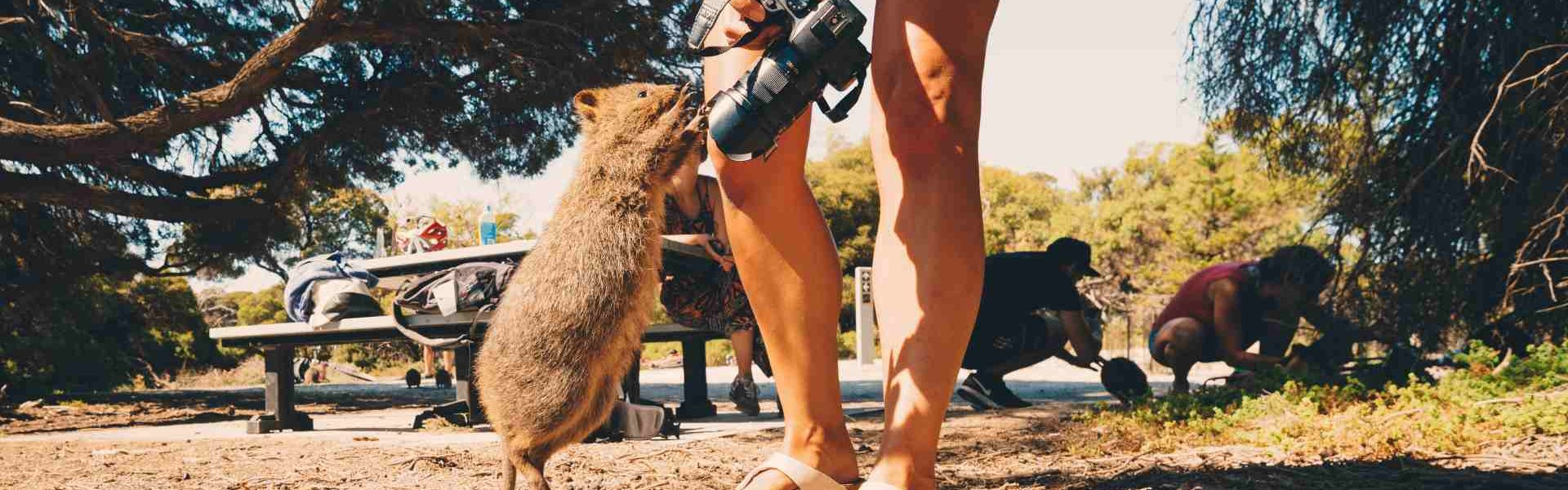 Backpackers playing with Quokkas