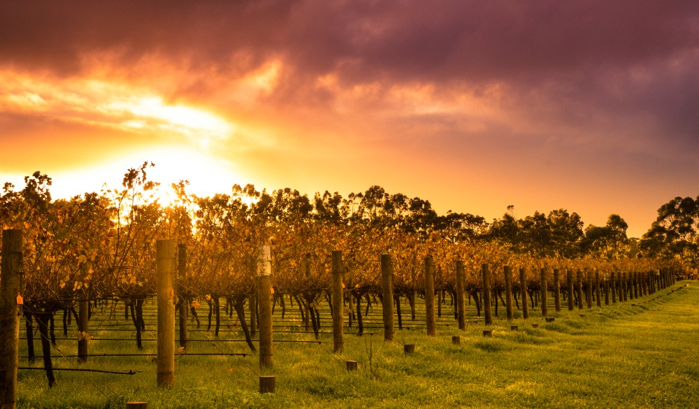 Sunrise over Vines, best place to visit in western australia