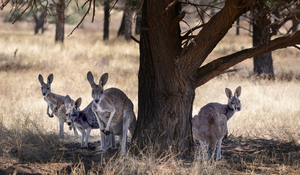 Kangaroos sheltering in shade under a tree